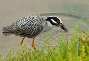photo of yellow crown night heron