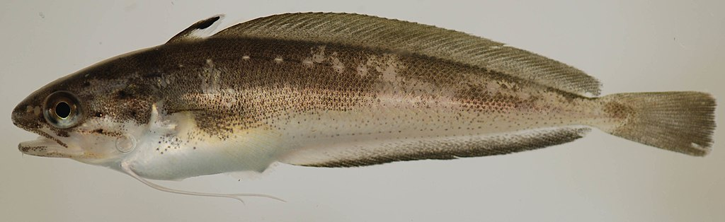 Picture of a spotted hake