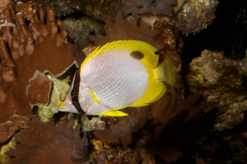 Picture of a spotfin butterflyfish among brown corals