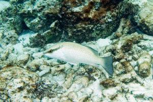 Picture of a juvenile grey snapper on sandy rocky bottom